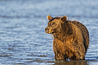 USA, Alaska, Brown bear watching for salmons in Silver salmon creek at Lake Clark National Park and Preserve - FOF004332