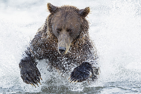 USA, Alaska, Brown bear is trying to catch salmon in Silver salmon creek at Lake Clark National Park and Preserve - FOF004326