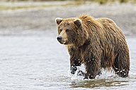 USA, Alaska, Brown bear in Silver salmon creek at Lake Clark National Park and Preserve - FOF004322