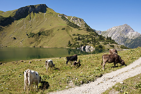 Austria, Cows grazing on meadow in Tannheim Alps - UMF000546