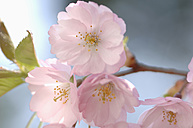 Germany, Close up of pink cherry blossom against sky - ASF004654
