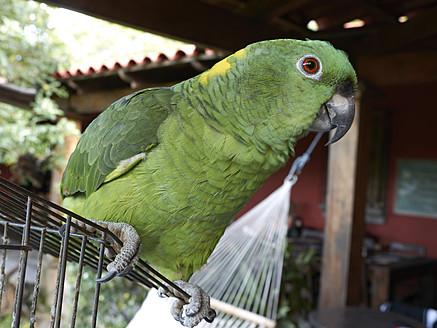 Central America, Costa Rica, Yellow Naped Amazon at Rincon de La Vieja National Park - BSCF000188