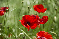 Italy, View of poppy flowers - MIRF000509