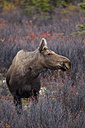 USA, Alaska, Cow moose standing in autumn at Denali National Park - FOF004538