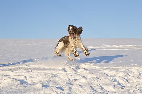 Germany, Bavaria, English Springer Spaniel playing in snow - MAEF005440