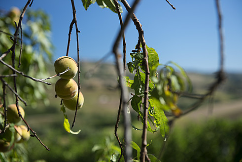 Italy, View of apricot tree - KAF000043