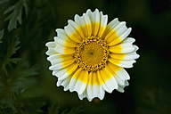 Germany, Crown Daisy flower, close up - TCF003197