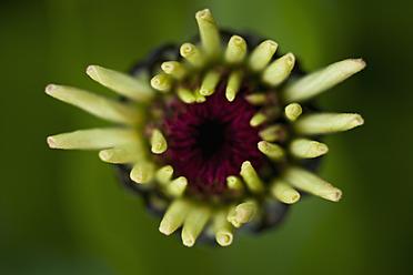 Germany, Zinnia flower, close up - TCF003198
