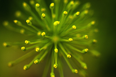 Germany, Dill flower, close up - TCF003209