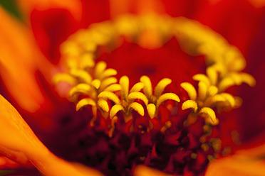 Germany, Zinnia flower, close up - TCF003211