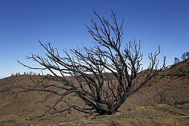 Spain, La Gomera, Fire damage in Garajonay National Park - SIE003117