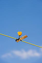 Germany, North Rhine Westphalia, Marigold hanging on washing line - KJF000176