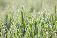 Italy, Grass with dewdrops in morning light, close up - FLF000150