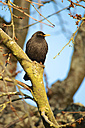 Germany, Hessen, Common Blackbird perching on branch - MHF000100