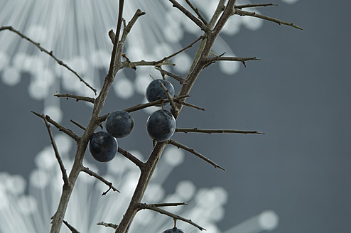 Blackthorn and fibre optic in background, close up - ASF004788