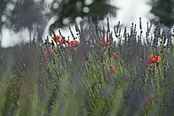 France, View of lavender and red poppy flowers - ASF004816