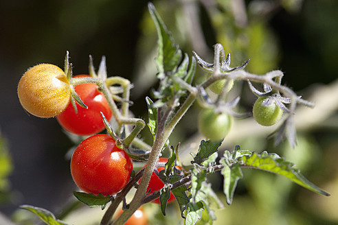 Germany, Bavaria, Tomatoes on branch - NDF000337