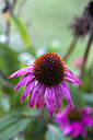 Germany, Bavaria, Wuerzburg, View of Echinacea Purpurea in garden - NDF000343