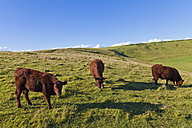 England, Cows grazing on pasture at West Lulworth - WDF001460