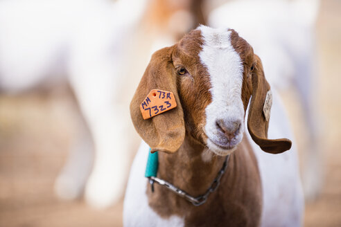 USA, Texas, Young Boer Goat - ABA000726