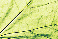 Austria, Close up of autumn leave - WVF000305