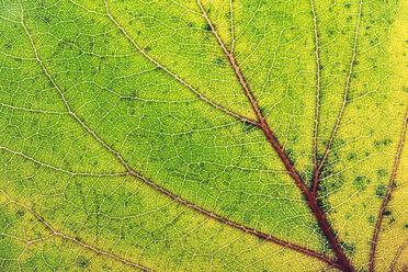 Austria, Close up of autumn leave - WVF000307