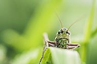 Austria, Close up of grasshopper - WVF000315