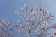 Germany, Bavaria, View of Japanese cherry blossom, close up - CRF002285