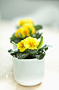 Potted plant with yellow primroses, close up - HLF000067