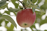 Germany, Bavaria, Apple growing on tree - CRF002290