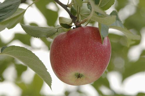 Germany, Bavaria, Apple growing on tree - CRF002290