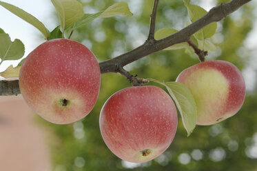 Germany, Bavaria, Apples growing on tree - CRF002292