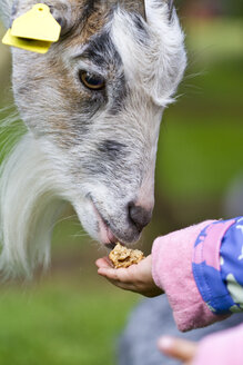 Denmark, Human hand feeding goat, close up - JFEF000024