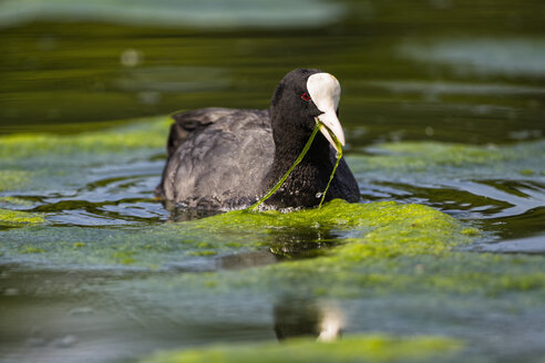 Germany, Bavaria, Eurasian Coot in water - FOF004765