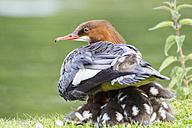 Germany, Bavaria, Goosander with chicks, close up - FOF004787
