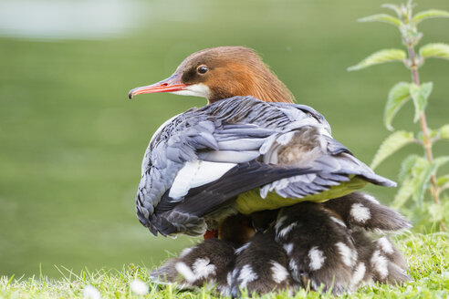 Germany, Bavaria, Goosander with chicks, close up - FOF004787