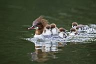 Germany, Bavaria, Goosander with chicks on her back, close up - FOF004799