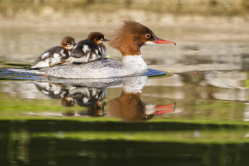 Germany, Bavaria, Goosander with chicks on her back, close up - FOF004803