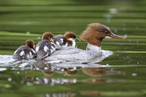 Germany, Bavaria, Goosander with chicks on her back, close up - FOF004807