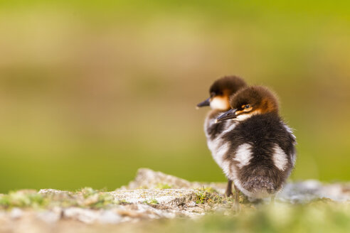 Germany, Bavaria, Goosander chicks, close up - FOF004820