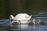 Europe, Germany, Bavaria, Swan with chicks swimming in water - FOF004872