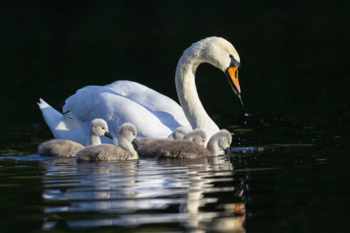 Europe, Germany, Bavaria, Swan with chicks swimming in water - FOF004873