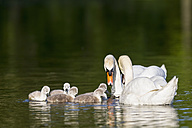 Europe, Germany, Bavaria, Swans with chicks swimming in water - FOF004877