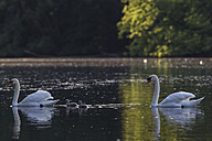 Europe, Germany, Bavaria, Swans with chicks swimming in water - FOF004880