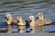 Europe, Germany, Bavaria, Swan chicks swimming in water - FOF004884