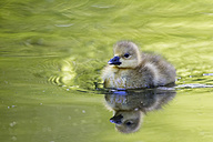 Europe, Germany, Bavaria, Canada Goose chick swimming in water - FOF004912
