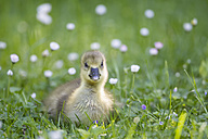 Europe, Germany, Bavaria, Canada Goose chick on grass - FOF004915