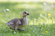 Europe, Germany, Bavaria, Canada Goose chick on grass - FOF004917