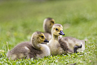 Europe, Germany, Bavaria, Canada Goose chicks on grass - FOF004920