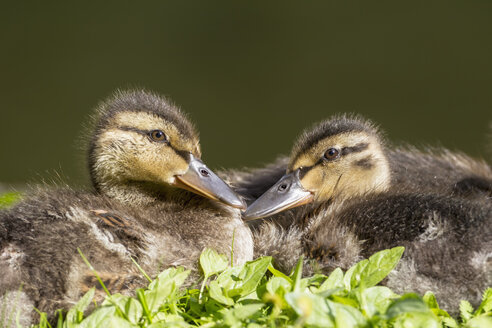 Germany, Bavaria, Two mallard ducklings sitting in plants, close up - FOF004932